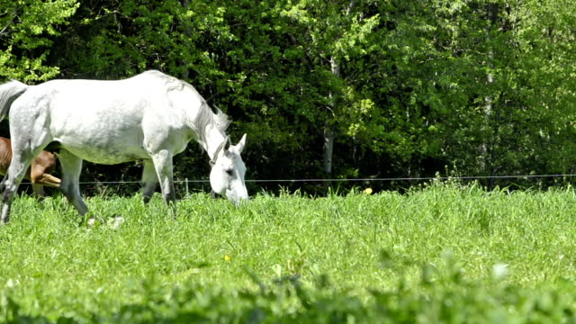 white warmblood horse - mare and playing foals white warmblood horse - mare and playing foals  mare stock videos & royalty-free footage