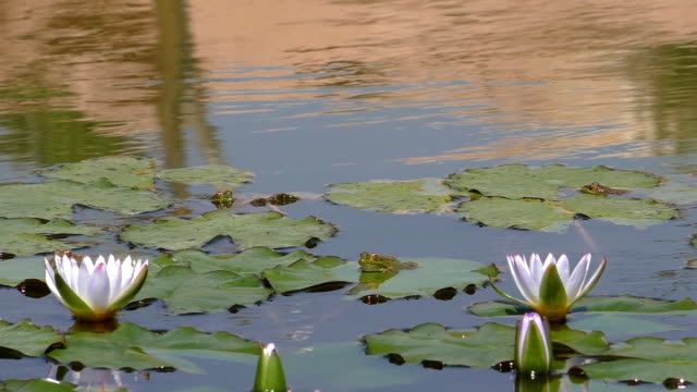 White water lilies and frogs video