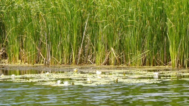 White water lilies of the lake on the background of reeds White water lilies of the lake on the background of reeds padding stock videos & royalty-free footage