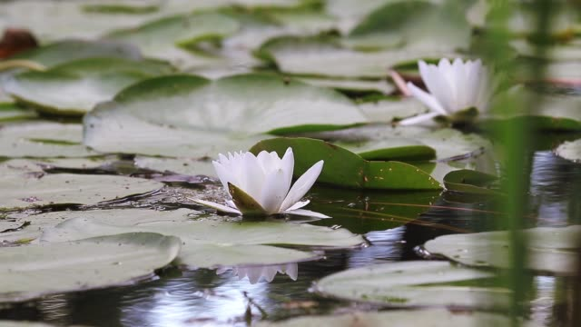 White water lily in a pond. Nymphaea alba. Beautiful white water lily and tropical climates. Water lily background. Water lilies video footage. A living embodiment of the fantasy of nature. video
