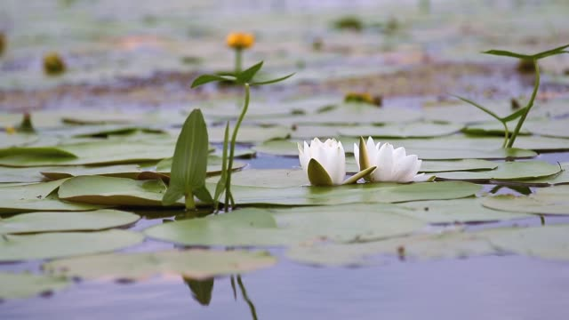 White water lily in a pond video