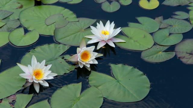 white water-lilia w wodzie - lilia filmów i materiałów b-roll