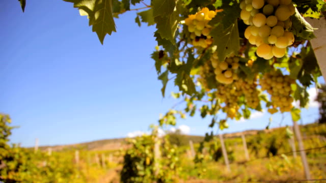 White wine grape video