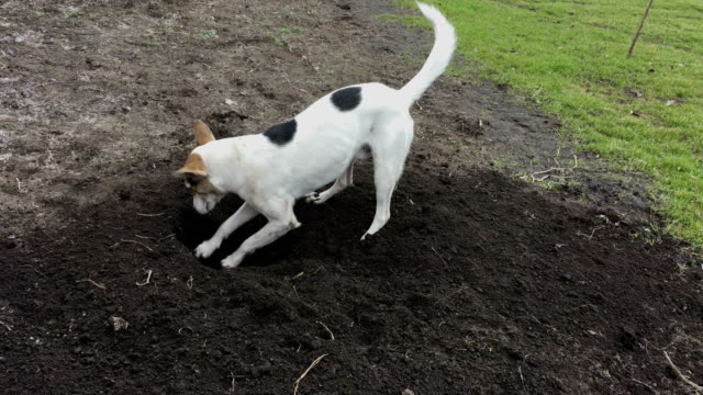 White young dog in digging a hole in black earth while older Basenji foreman inspecting the project on the finish line video