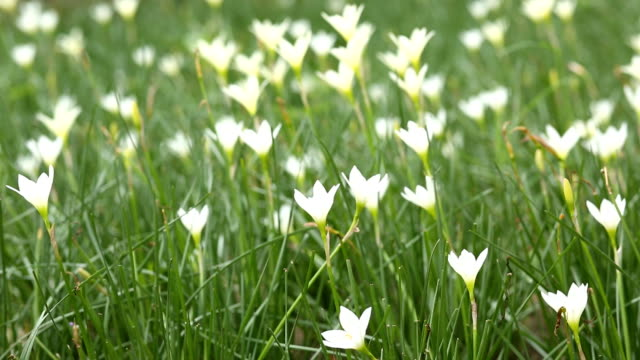 White Zephyranthes Lily video