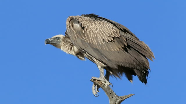 White-backed vulture on a branch A white-backed vulture (Gyps africanus) perched on a branch against a blue sky, South Africa vulture stock videos & royalty-free footage