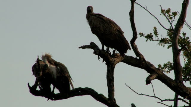 White-backed Vultures on bare tree trunk White-backed Vultures on bare tree trunk. South Africa, Kruger National Park. vulture stock videos & royalty-free footage