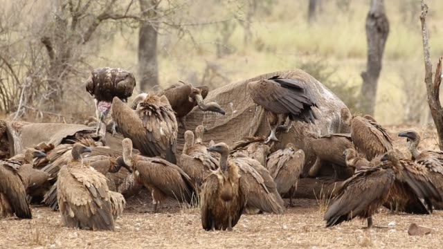 White-backed vultures scavenging on a dead elephant, Kruger National Park White-backed vultures (Gyps africanus) scavenging on a dead elephant, Kruger National Park, South Africa vulture stock videos & royalty-free footage