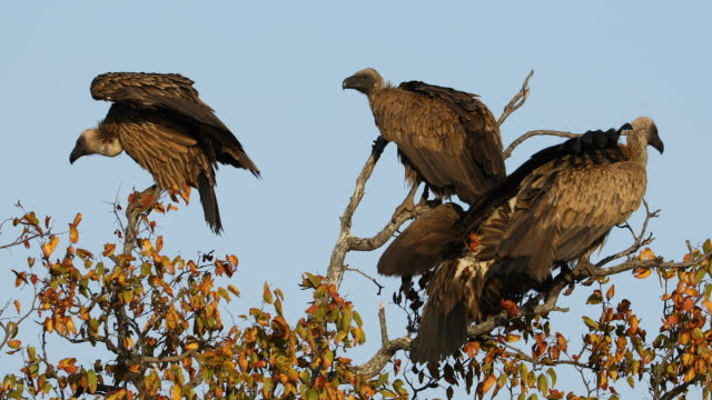 White-backed vultures sitting in a tree White-backed vultures (Gyps africanus) sitting in a tree, Kruger National Park, South Africa vulture stock videos & royalty-free footage