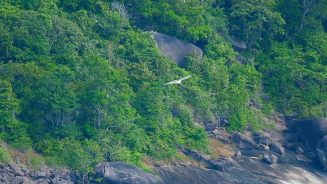 White-bellied sea-eagle (Haliaeetus leucogaster video