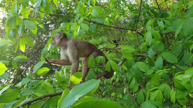 vit-fronted capuchin - primat bildbanksvideor och videomaterial från bakom kulisserna