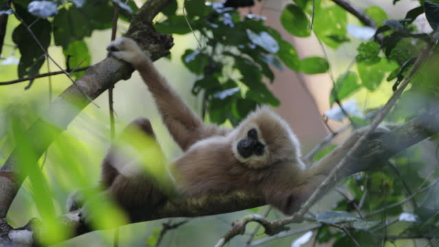 White-handed gibbon also known as Law gibbon (Hylobates lar)