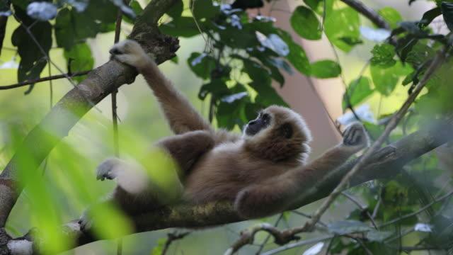 vit-handed gibbon eller lar gibbon (hylobates lar) - djurarm bildbanksvideor och videomaterial från bakom kulisserna