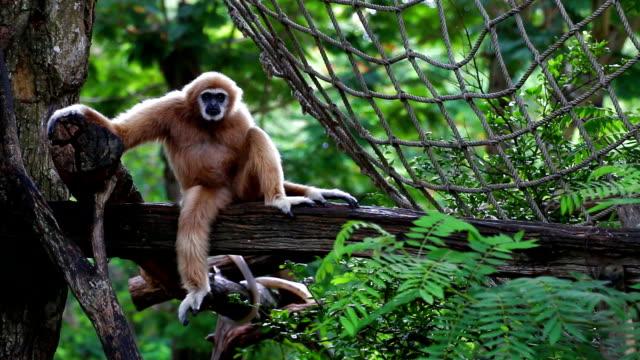 vit-handed gibbon sitter ensam på virket. - gibbon människoapa bildbanksvideor och videomaterial från bakom kulisserna
