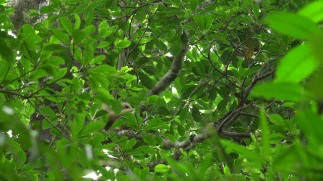 White-handed Gibbons calling song on the tree in the forest. Thailand.