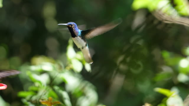 white-necked jacobin birds flying next to the nest slow motion - exotic stock videos & royalty-free footage