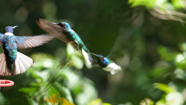 weiß-necked jakobiner vögel fliegen neben den nest-slow-motion - bedrohte tierart stock-videos und b-roll-filmmaterial