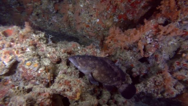 whitespotted grouper, epinephelus coeruleopunctatus swim near coral reef, indian ocean, maldives, asia - морской окунь стоковые видео и кадры b-roll