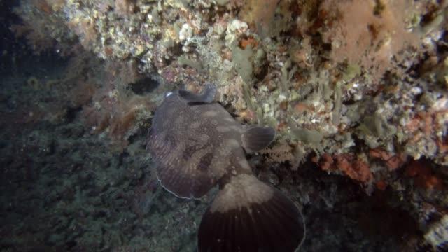 whitespotted grouper near coral reef - морской окунь стоковые видео и кадры b-roll