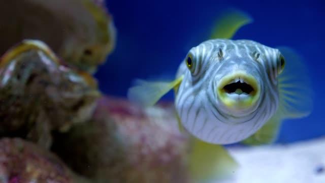 海や水族館で白く斑点のフグ。 - 海洋生物点の映像素材/bロール