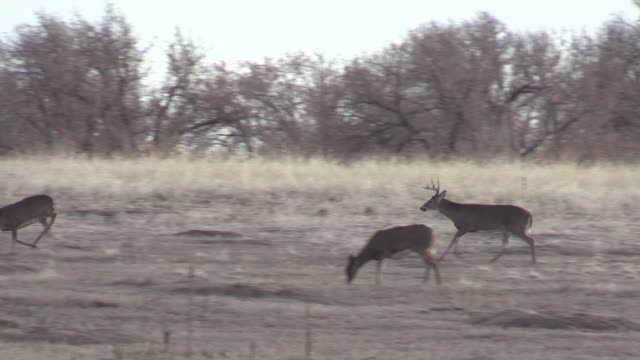 Whitetail Buck Chasing a Doe in the Rut video