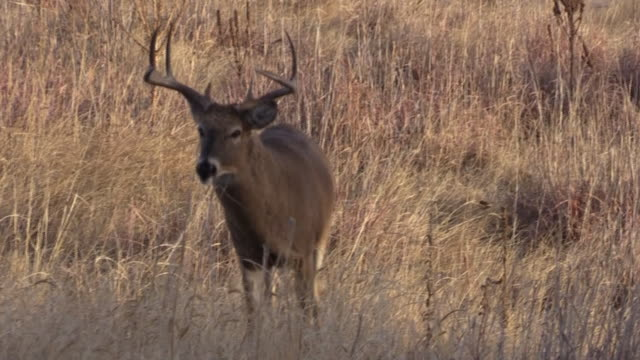 Whitetail Buck During the Fall Rut video