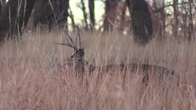 Whitetail Buck in Tall Grass video