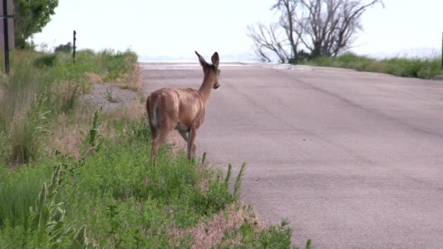 jeleń whitetail doe przekraczania road - jeleniowate filmów i materiałów b-roll