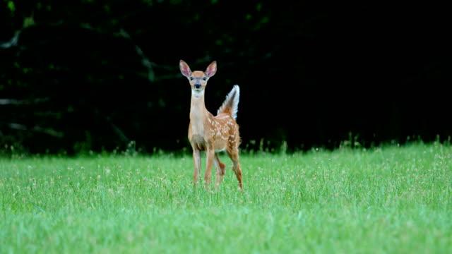 vídeos de stock e filmes b-roll de whitetail deer fawns and doe - prontidão