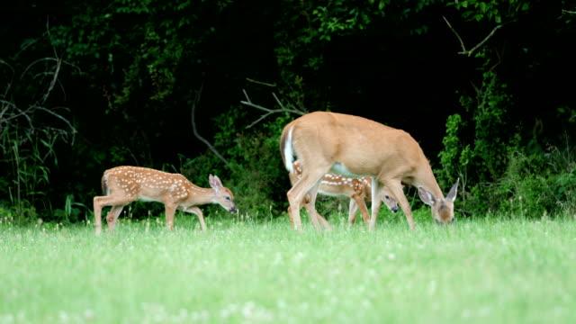 whitetail deer fawns and doe - poroże filmów i materiałów b-roll