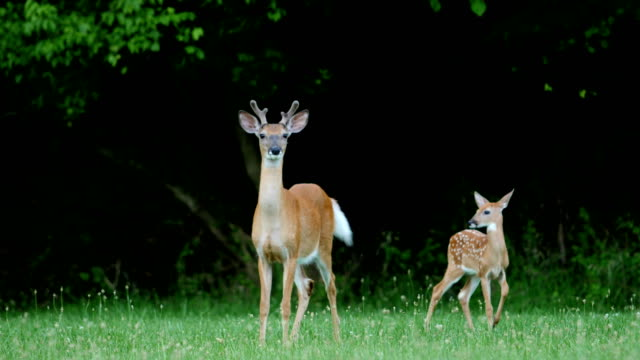 Whitetail deer fawns and doe video