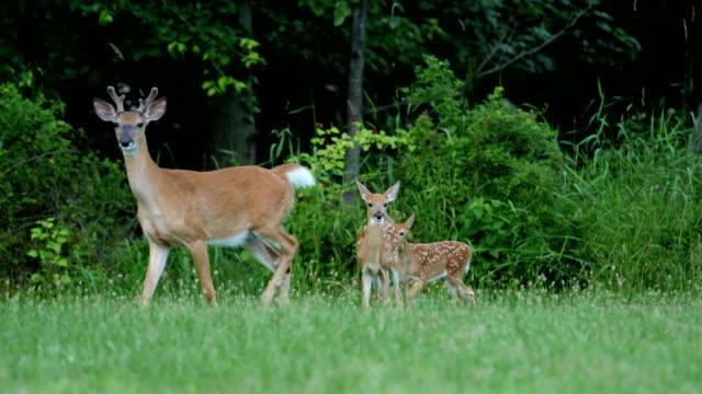 白尾鹿鹿鹿和母鹿 - 野生動物 個影片檔及 b 捲影像