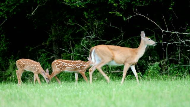 whitetail deer fawns and doe - jelonek filmów i materiałów b-roll