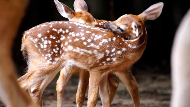jelenie wirginijskie fawns - jelonek filmów i materiałów b-roll