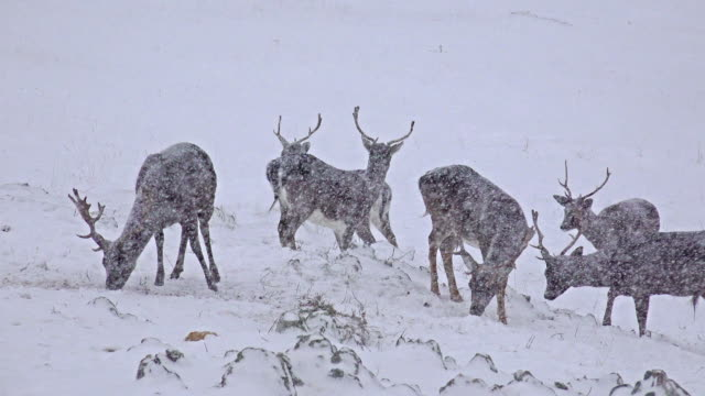 Whitetail Deer mature bucks on snow, January in mountains. uhd stock video video