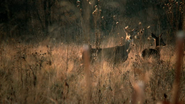 white-tailed deer #2 1080p hd - hunting stock videos and b-roll footage