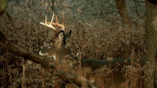 White-Tailed Deer #8 1080p HD