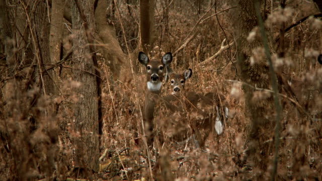 white-tailed deer #16 1080p hd - hunting stock videos and b-roll footage