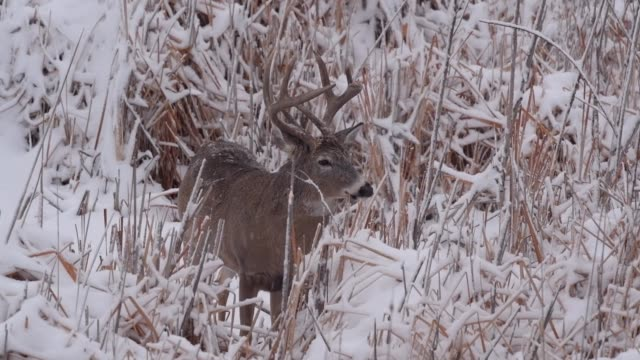 A White-tailed Deer Buck in a Snowstorm