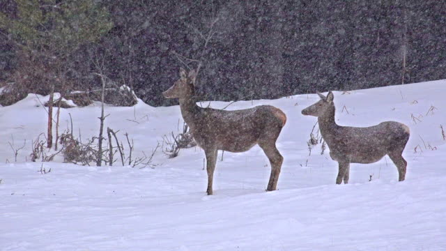White-Tailed Deer In The Snow, uhd stock video video