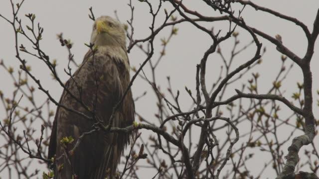 White-tailed eagle (Haliaeetus albicilla) Kuril Islands