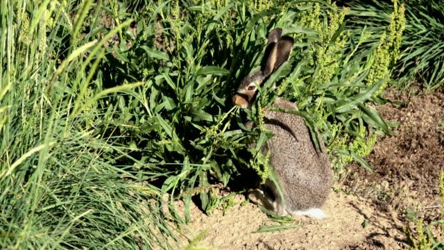 White-tailed jackrabbit eats willow dock plant Arapahoe National Wildlife Refuge Colorado summer