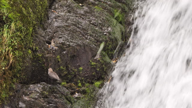 white-throated dipper (cinclus cinclus) - altay nature reserve - cinclus video stock e b–roll