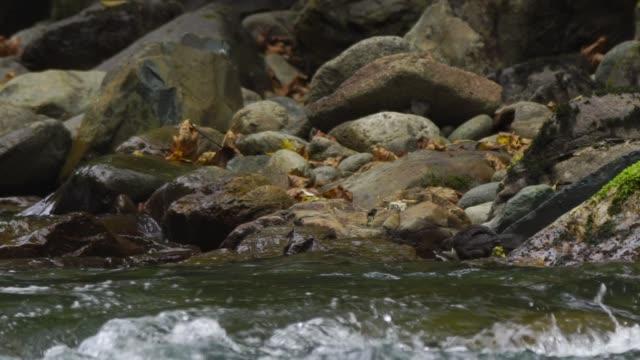 white-throated dipper (cinclus cinclus) - merlo acquaiolo video stock e b–roll