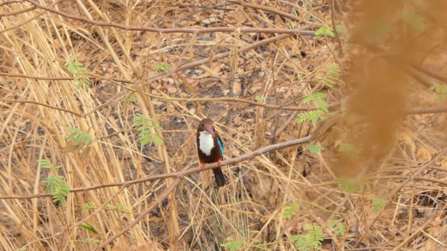 White-throated Kingfisher bird on branch in wetland. video