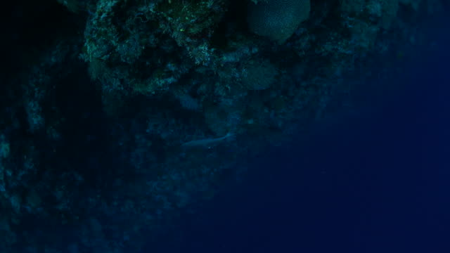 白尖礁鯊在深海游泳 - 深的 個影片檔及 b 捲影像