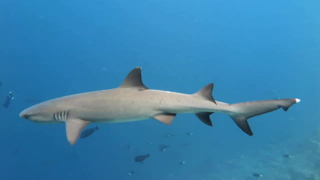 Whitetip Reef Shark video