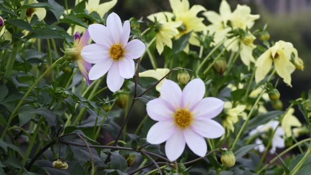 Whitle Dahlias with Bee video