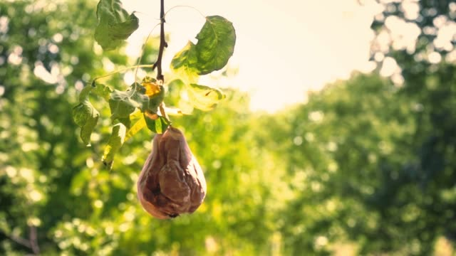 A whole rotten pear hangs on a green tree in the garden. The spoiled fruit of a pear hangs on a branch