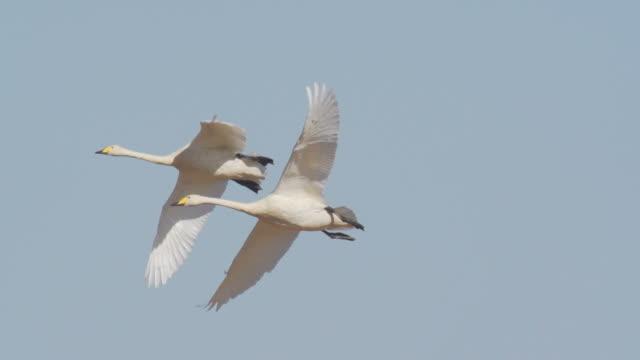 whooper swan video